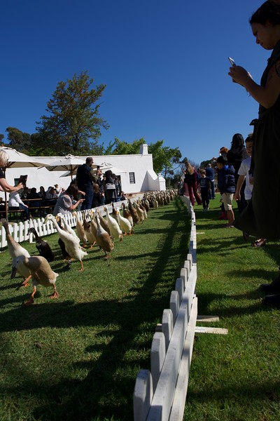 duck walk, Stellenbosch winery, South Africa