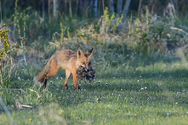 5-15-16 Red Fox Adults With Food