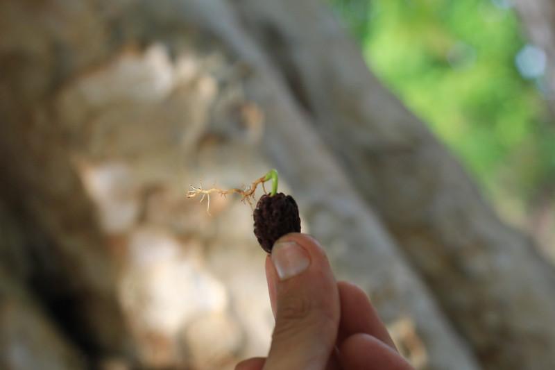 IMG_2764 rudraksh seed.JPG