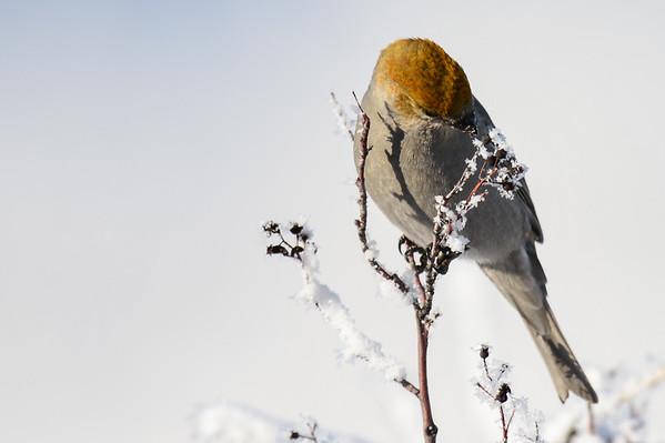 12 2012 Dec 3 Pine Grosbeaks, Waxwings, Hoar Frost & Scenery