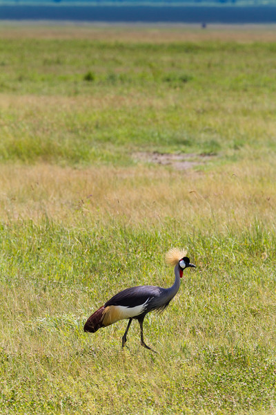 Grey crowned crane standing in grassland - East Africa - Tanzania