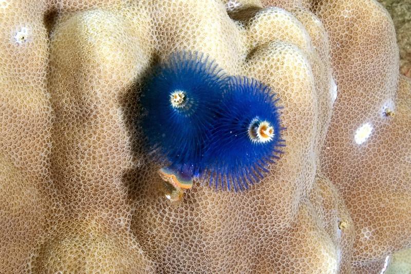 Blue Christmas Tree Worms.jpg