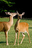 White-tailed deer playing with each other in a grassy field.