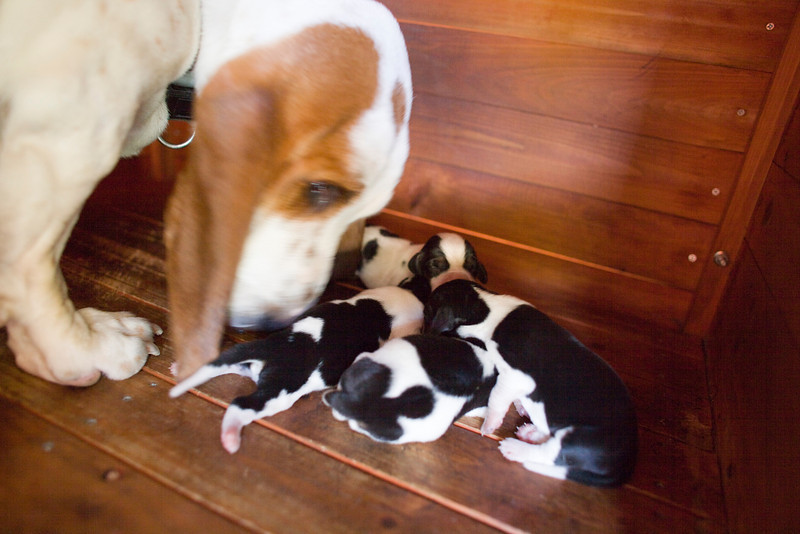 Lola and her puppies.  Suki is on the far right.  5 days old.