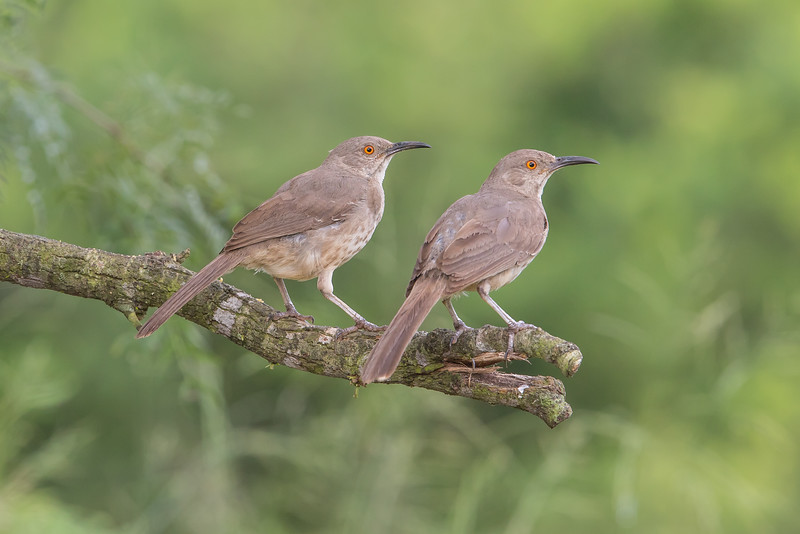Curve-billed Thrasher (Toxostoma curvirostre)