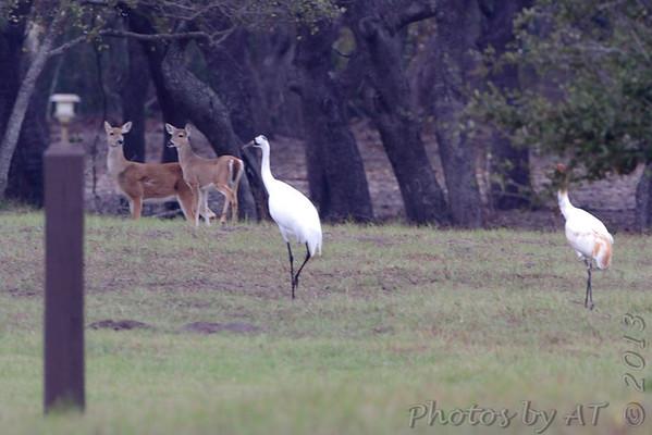 2013-01-02 Rockport Area - Aransas National Wildlife Refuge
