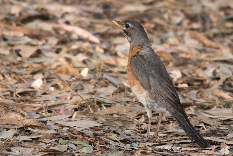 American Robin foraging on the ground below an Eucalyptus Tree.