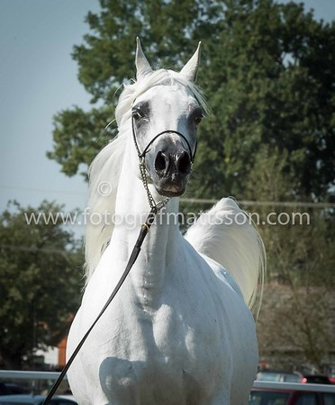Cracow Arabian Horse Picnic 2016