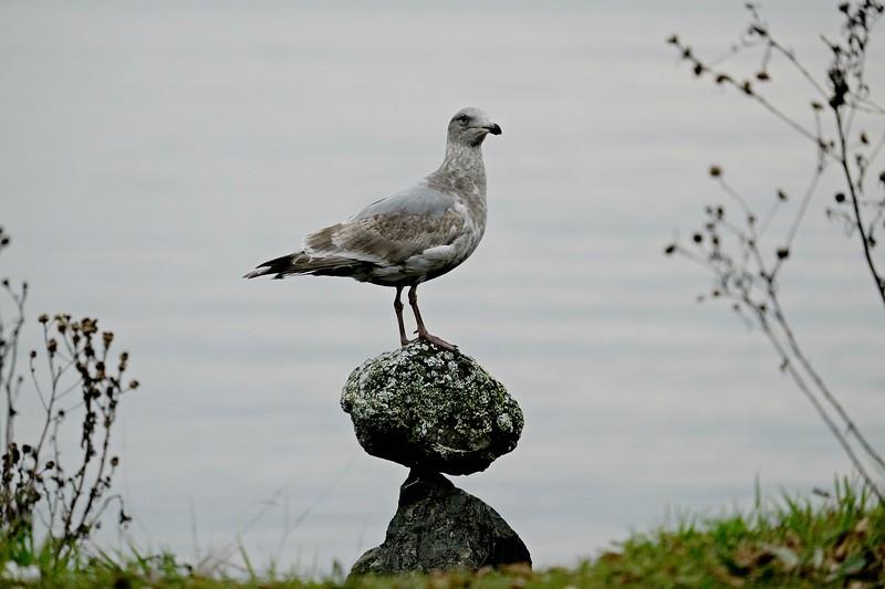 Gull Seattle, WA