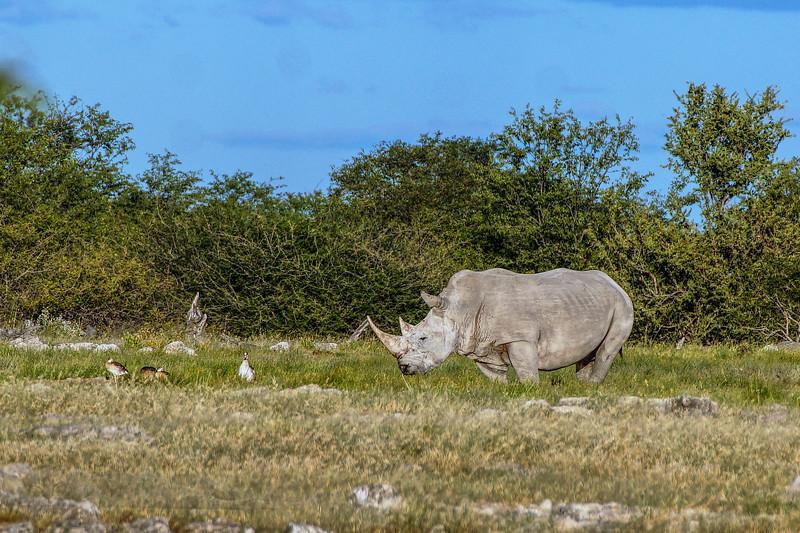 Rhinoceros - Black Rhinoceros in Etosha National Park, Namibia