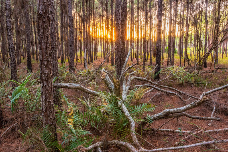 Golden hour in a pine stand at Split Oak Forest
