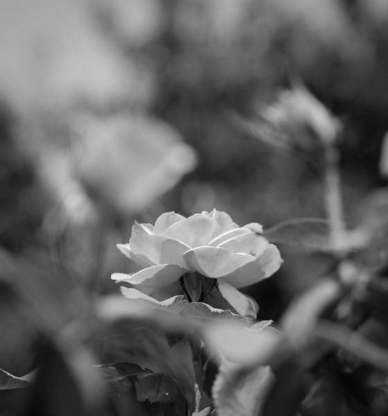 Balboa Park Rose Garden-0883-2.jpg