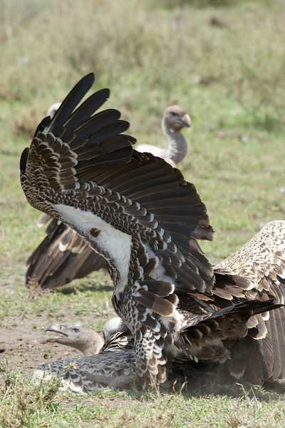 Serengeti_Feb_2013_FH0T6573.tiff.jpg