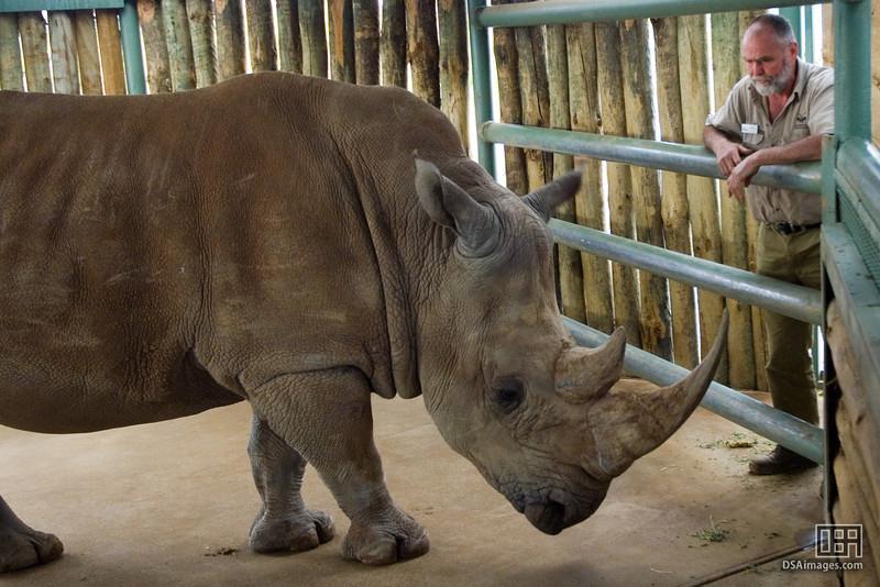 White Rhinoceros and Keeper
