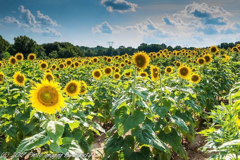 Sun Flowers-2.JPG