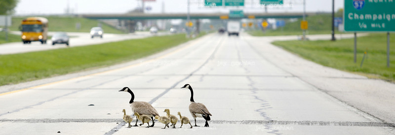 A gander of Canada Geese cross Illinois Route 16 just East of highway 57 on Tuesday, April 6, 2008. (Jay Grabiec/Staff Photographer)