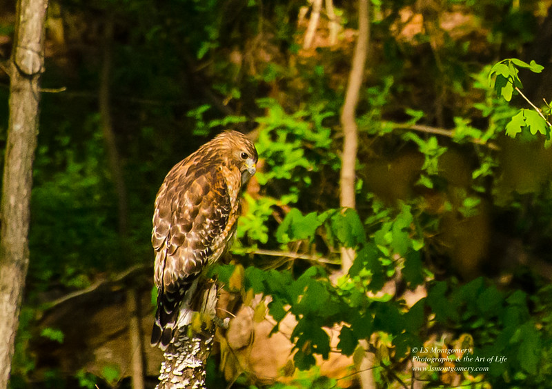 Red Shouldered Hawk
