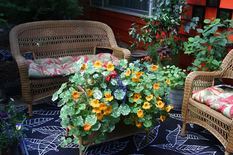 Another angle of the nasturtiums on my coffee table