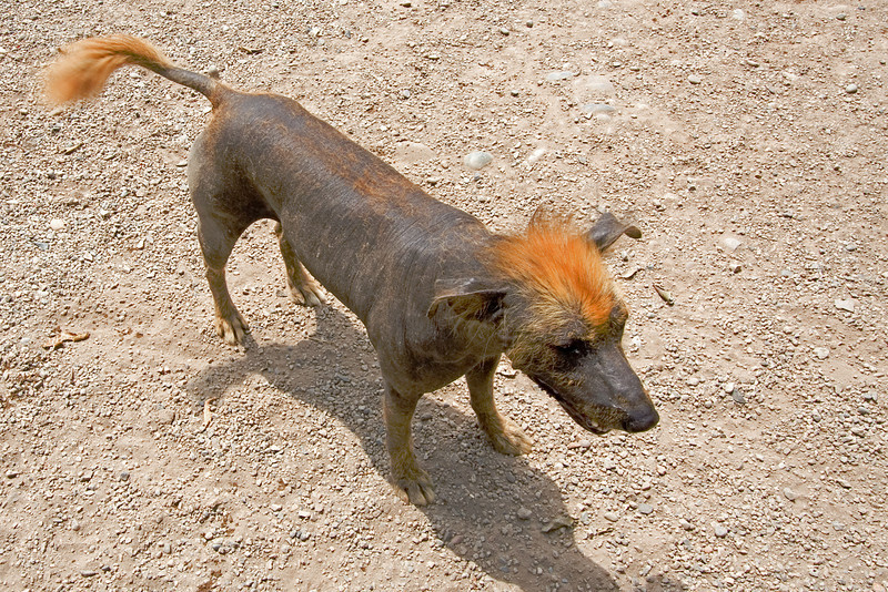Peruvian Dog.jpg