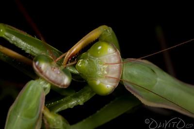 Mantis Canibalis