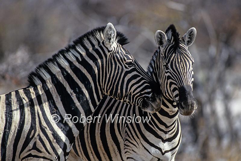 Zebras - Burchell's