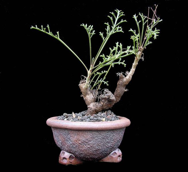 Pelargonium ceratophyllum