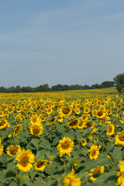 2013_08_24 Sunflowers 002.jpg
