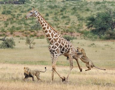 Lions vs. Giraffe Battle