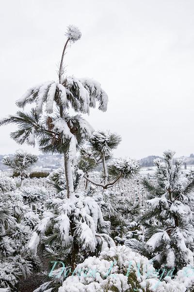 Pinus cembra 'Klein' in training with snow_4274.jpg