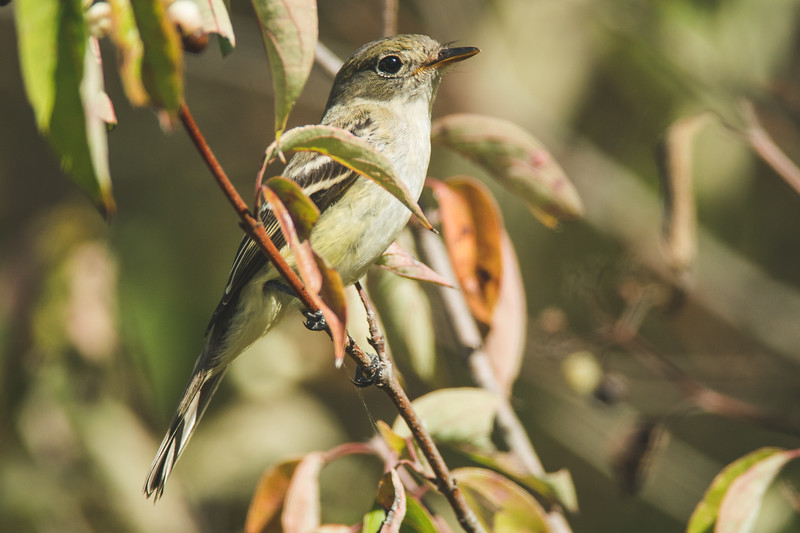 least flycatcher celery bog