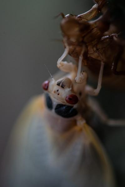 Cicada Invasion of 2021