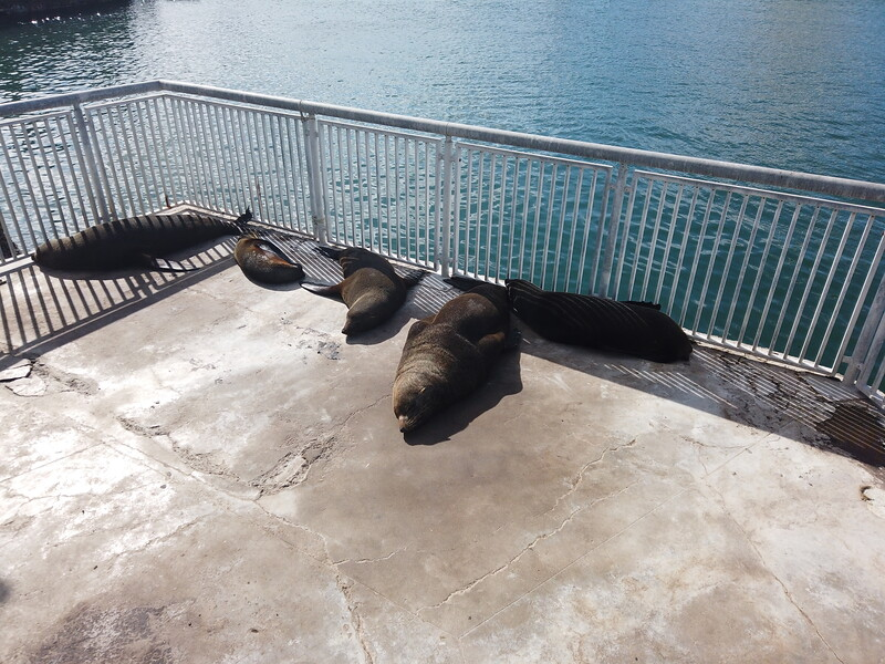 Seals, Victoria & Albert waterfront, Cape Town