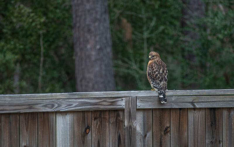 MMG_1319 Hawk on Faulkner_1.jpg