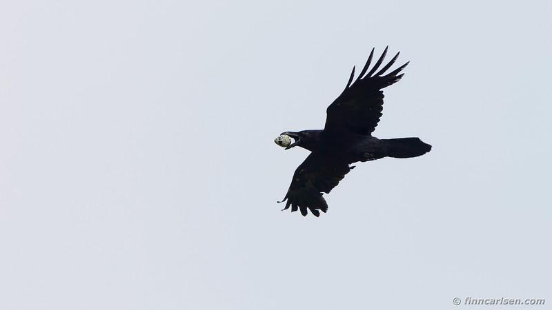Ravn (Corvus corax - Common raven)