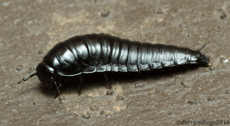 Carrion Beetle larva, family Silphidae, from Vilas County, Wisconsin.
