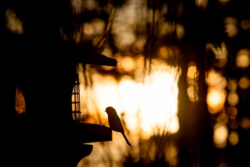 Black-capped Chickadee at feeder backlit backlighting Skogstjarna Carlton County MN  IMGC9011.jpg