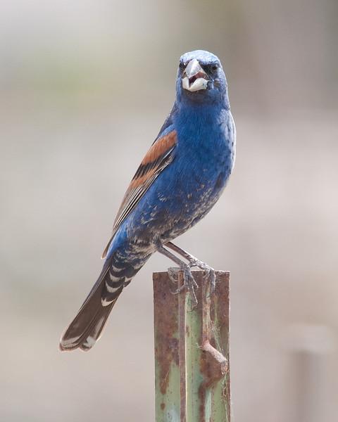Blue Grosbeak @ Community Garden