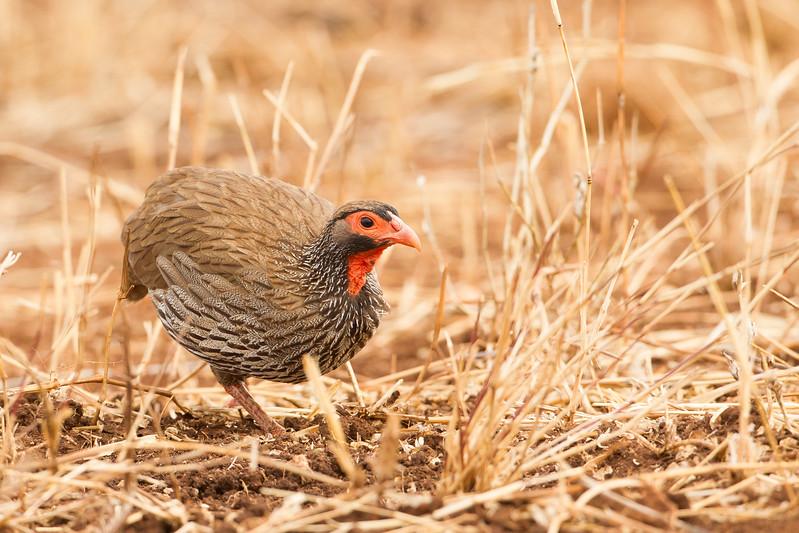 Red-necked Spurfowl - Tarangire National Park, Tanzania