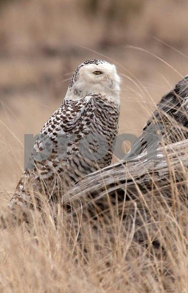 Snowy owl 5593c.jpg