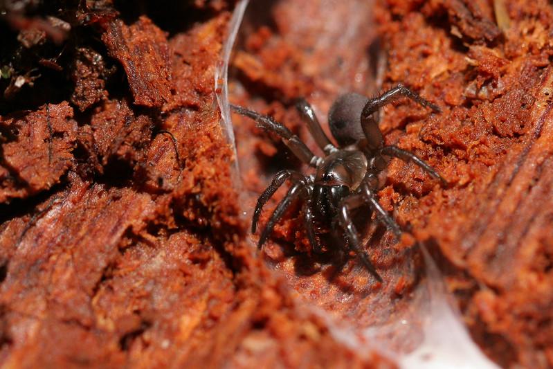 Folding Trapdoor Spider (Antrodiatetus pacificus)