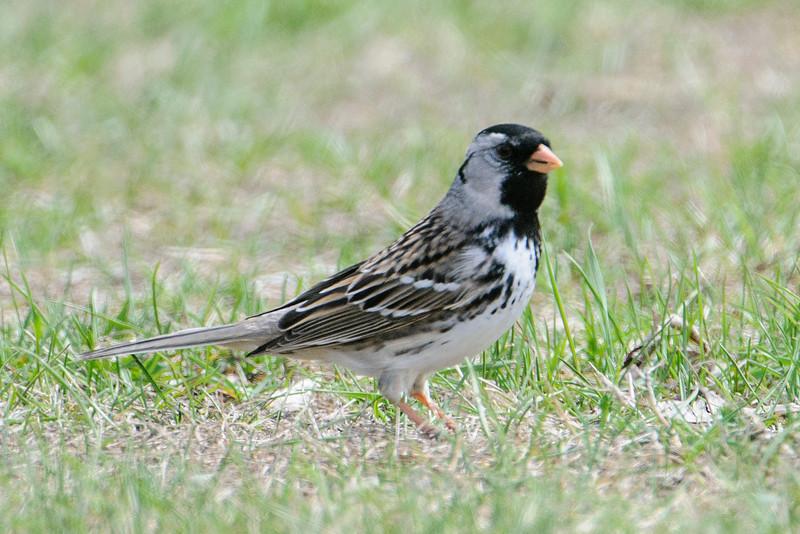 Sparrow - Harris's - White Oak Lake - Deer River, MN