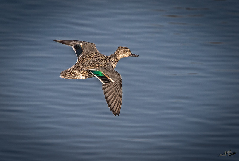 Green Winged Teal in Flight.jpg
