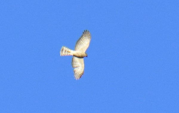 Accipiters, Lake Hodges, Bernardo Bay