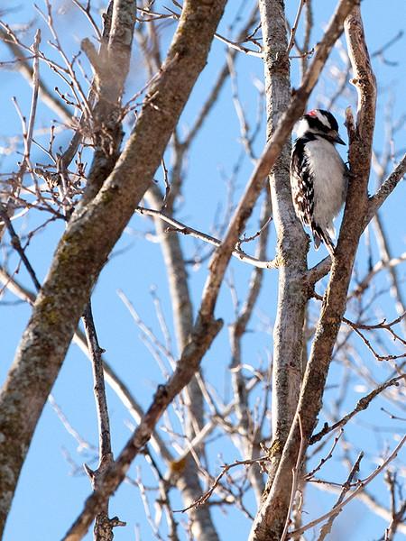 015-bird_woodpecker-wdsm-04jan13-9276