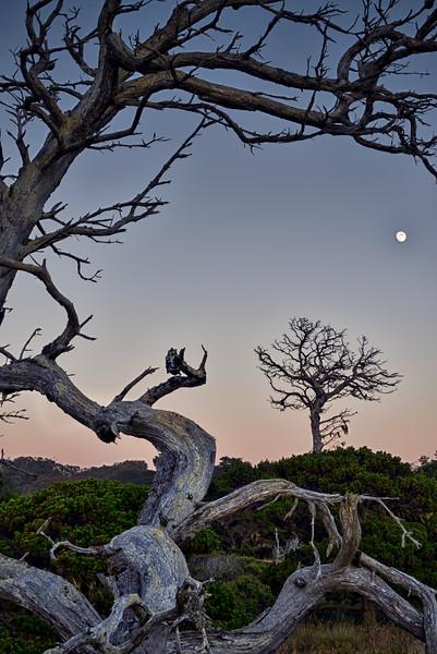 Old Cypress & Moon, Mendocino County, California