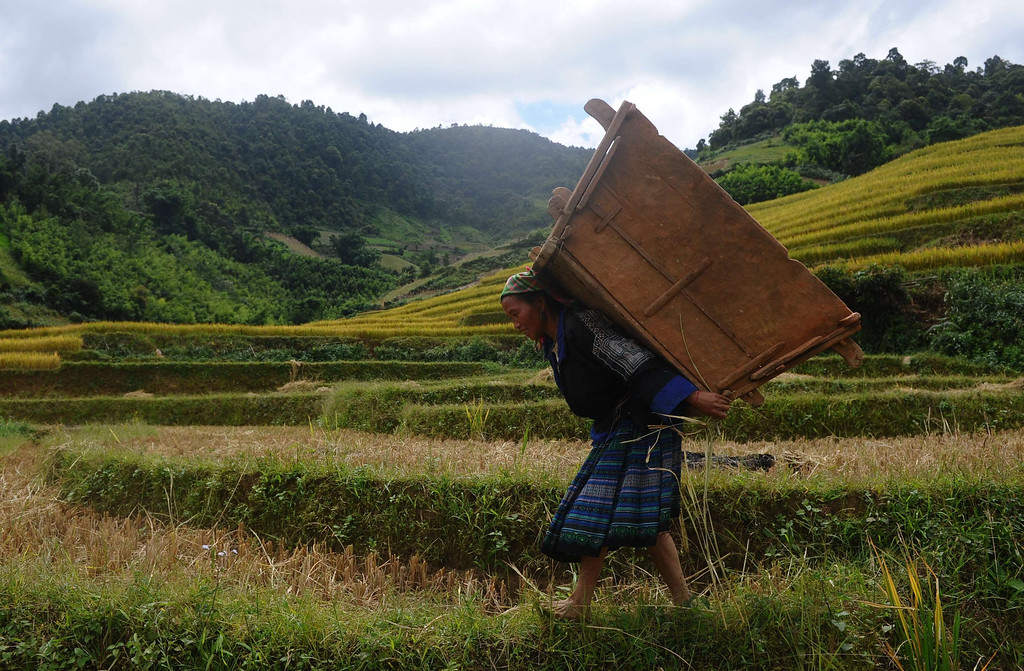 . This picture taken on October 1, 2013 shows a Hmong ethnic hilltribe woman carrying a wooden box used to thresh bunches of paddy on a terrace rice field in Mu Cang Chai district, in the northern mountainous province of Yen Bai. The local residents, mostly from the Hmong hill tribe, grow rice in the picturesque terrace fields whose age is estimated to hundreds years. Due to hard farming conditions, especially irrigation works, locals produce only one rice crop per year. In recent years a growing numbers of tourists have been attracted by the beautiful landscapes created by the region\'s rice terrace fields.  HOANG DINH NAM/AFP/Getty Images