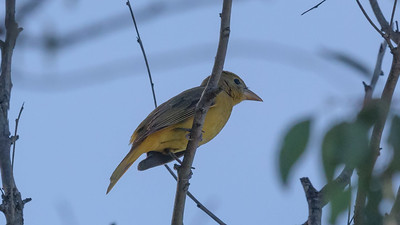 11/25/2019 Summer Tanager