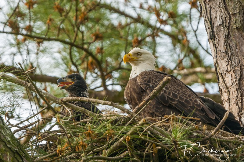 Bald Eagle Parent and Eaglet Two-1556671723025.jpg