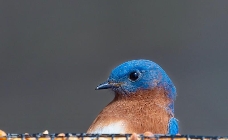 Bluebirds (3 of 19).jpg