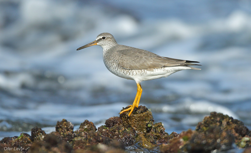 Grey-tailed Tattler breeding 5 MASTER.jpg